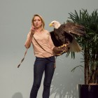 The Bald eagle, the national bird of United States, presented at the All Hall Zoo. Candice Ge/Staff Photographer